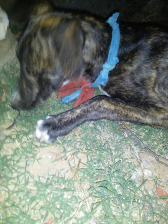 أمسكت كلب الصيد يأكل العشب